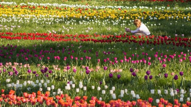 176 ezer tulipán keresi a gazdáját – te küldesz a nagyinak?