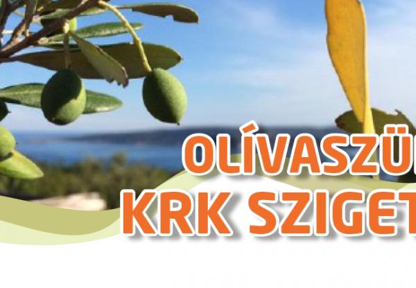 Olívaszüret  Krk szigeten